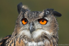 Uhu (Bubo bubo) (hellboy2503) Tags: portrait bird nature birds canon germany deutschland photography photo air natur adler images raptor 7d owl getty vgel eurasian vogel gettyimages uhu fliegen eurasianeagleowl geier greifvgel flieger beute jger eulen sperber 100400 reflection4 gettyimagescallforartists gettyimagesartistpicks peregrino27life hellboy2503 httpwwwgreifenwartede