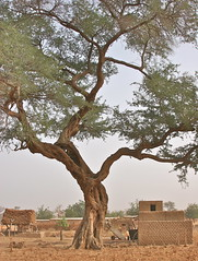 Under An Old Tree (1) (**El-Len**) Tags: africa tree village explore westafrica cart mali dogon toguna fav10 explorewinnersoftheworld thegalleryoffinephotography panoramafotogrfico thebestofmimamorsgroups