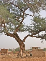 Under An Old Tree (1) (**El-Len**) Tags: africa tree village explore westafrica cart mali dogon toguna fav10 explorewinnersoftheworld thegalleryoffinephotography panoramafotográfico thebestofmimamorsgroups