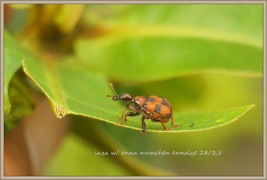 kumbang