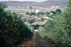 Olivar con cortijo de fondo (Grupo Caparrs) Tags: cabo olive aceite oil grupo olivos olivo soldeportocarrero parquenatural caparros gatanijar orodenijar
