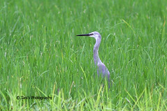 Little Egret ( Rare Colour Morph ) ! (Tania Khan BD) Tags: bangladesh littleegret interestingbird rarecolor