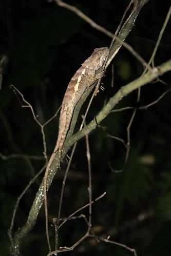 夜間觀察時,樹枝上常常可以看見睡得正香甜的斯文豪氏攀蜥。攝影:呂軍逸。