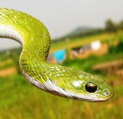 green keelback (Macropisthodon plumbicolor) (Chime Tsetan) Tags: herpetology greensnake snakesofindia ophiology greenkeelback keelbacks snakeecology