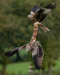 No you don't .... ! EXPLORE (Gareth Scanlon) Tags: autumn red orange brown mountain kite black green bird nature yellow fauna pull fight nikon october open bokeh wildlife flight wide wing beak feather sharp 300mm talon raptor prey nikkor brecon beacons grab gareth scanlon f4 autumnal afs milvus of d300s garethscanlon