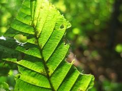 Sommerblatt (xxxTraumvogel) Tags: sun green nature sunshine leaf bokeh sommer natur grn blatt sonne sonnenstrahlen sonnenschein