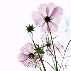 (shotam) Tags: autumn flower  grdigital richo cosmos asuka   grd asukavillage asukamura  grd3  yourfavorite201104