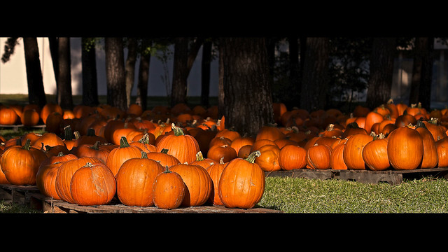 295/365: Pumpkin Patch