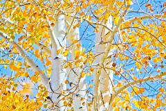 Here today, gone tomorrow (twnklmoon) Tags: aspen myfrontyard whitebark twnklmoon yellowleavesandbluesky