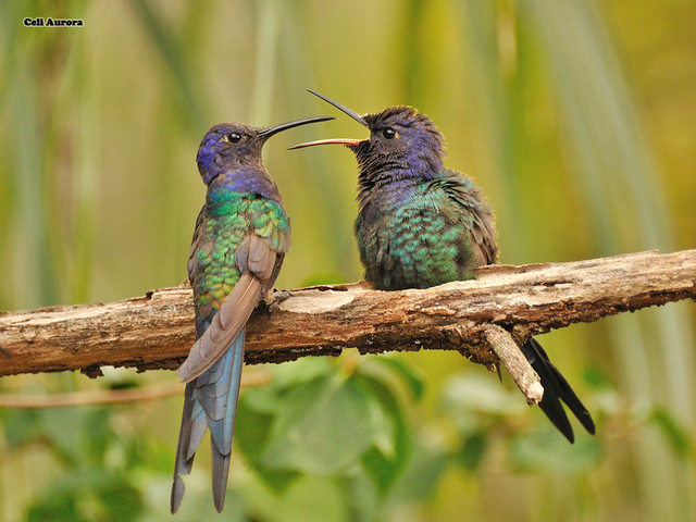 "Beija-flor-tesoura ( Tesourão ) -  "" Eupetomena macroura ""  - Swallow-tailed Hummingbird  - DSC_0632"