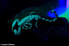 Glow in the dark (mistykari) Tags: dark glow scorpion deadly