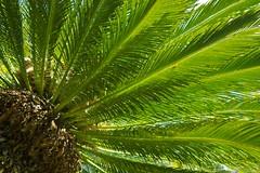 Cycad (Deb Jones1) Tags: life park flowers trees flower macro nature floral beauty canon garden palms botanical outdoors 1 jones spring flora colours explore deb flickrduel debjones1