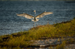 Touch down !!! (hvreflections) Tags: sea naturaleza white bird blanco beach latinamerica nature beauty mxico wonder mar nikon moments raw peace crane bigma flight sigma paz playa ave touchdown cancn spotting belleza momentos whitecrane marcaribe yucatanpeninsula vuelo quintanaroo amricalatina maravilla caribbeansea grulla garza aterrizaje avistamiento sigma50500 nikond2x pennsuladeyucatn garzablanca