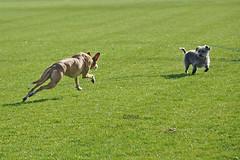 "DSC_0018 - ""Watch out George!"" (SWJuk) Tags: park uk autumn england greyhound home dogs george nikon lancashire terrier ruby saluki burnley 2011 d90 terriermix towneley nikond90 salukigreyhound myfreecopyright swjuk oct2011"