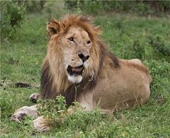 "IMG_0513 _ Old Daddy of Mara _""Notch"" (maqsmughal) Tags: wildlife bigfive wildcats bigdaddy maqs canon7d predetors naturesgreenpeace lens70200f28lis lionofmara"