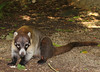 Guatemala - Naturaleza / Nature (Galeon Fotografia) Tags: animal guatemala animale tier tejon tierwelt ζώο животное hayop гватемала γουατεμάλα galeonfotografía