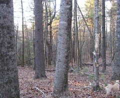Mature stand of hardwood and white pine prior to the harvest.