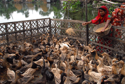 Feeding poultry, Bangladesh. Photo by WorldFish, 2006