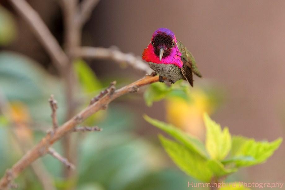 Anna's Hummingbird 103111-4