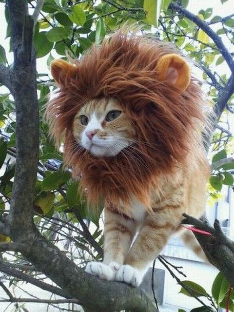 Cat in Lion Costume
