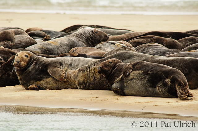 Gray seal herd on Cape Cod