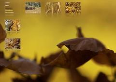 Herbst 2011 (peter vogel.troll) Tags: autumn laub herbst blatt schilf buche lowersaxony esskastanie nikond5000 arealgermanygermanfederalrepublic