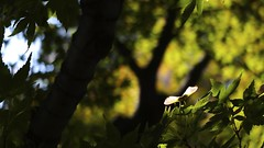 Autumn sign  (FujiFilm X10) (potopoto53age) Tags: 21mm~112mm aperture apple appleaperture autumn autumnsign f20~f28 finepix fujifilm fujifilmfinepixx10 fujinon fujinonfujinon japan kaede kofu lenssuperebc21mm~112mmf20~f28 maple mapleseed momiji plant seed sign superebc tree x10 yamanashi カエデ モミジ 甲府 甲府市 紅葉 山梨県 山梨県庁 日本
