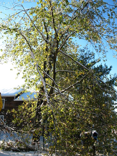silver maple with broken branches: Snowstorm of October 2011, New Jersey