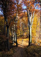 aranyerdő / golden forest (debreczeniemoke) Tags: autumn forest landscape transylvania transilvania baiamare tájkép erdély ősz erdő goldenforest nagybánya canonpowershotsx20is outstandingromanianphotographers aranyerdő