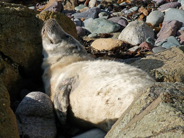 25274 - Seal Pup, Porthlysgi Bay