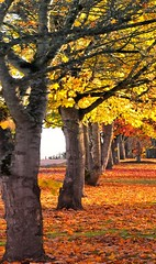 colors of Autumn in the city (mogew) Tags: autumn tree colors leaves oak pretty whidbeyisland oakharbor