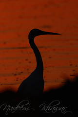 Great Heron (Nadeem Khawar.) Tags: pakistan punjab sialkot pakistaniphotographer birdsofpakistan nadeemkhawar gettyimagesmiddleeast