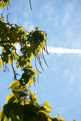 (The Dolly Mama) Tags: autumn sky tree green fall nature clouds airplane utah bush oct catalpa 2011 cigartree