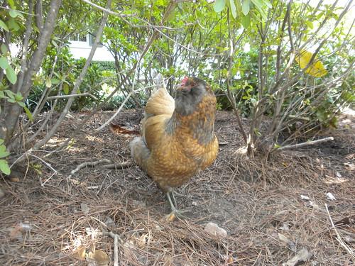 Garden District chickens