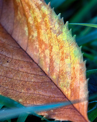 crackle fade (Greg Berdan) Tags: autumn brown green fall grass yellow cherry leaf tan toothed odc2
