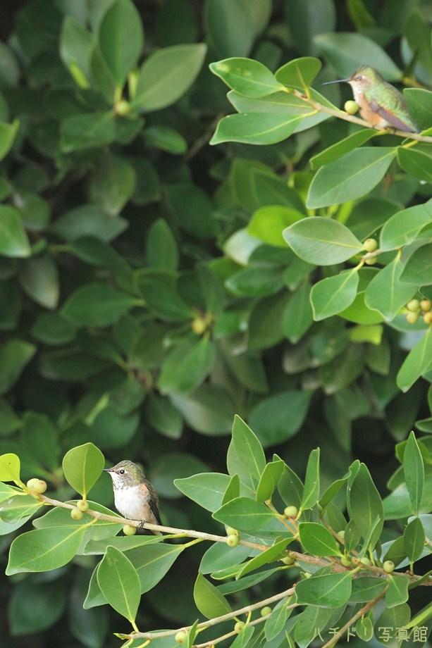 Allen's Hummingbird111311-2