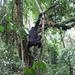 Mountain gorillas, Kahuzi-Biega National Park, Congo