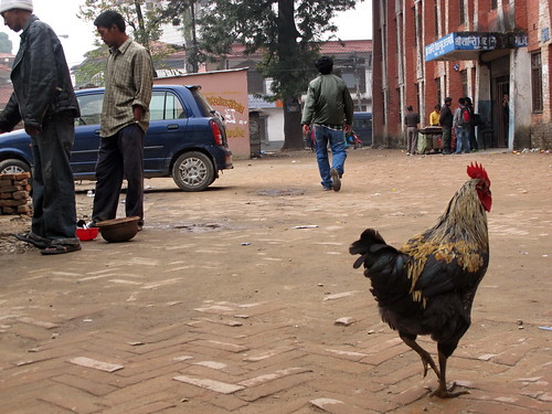 Rooster on the street