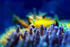 MK-004-66 (Marcelost World) Tags: coral star aquarium soft crab shrimp pico xenia reef nano camaro aqurio invertebrate lps caranguejo polyp sps acropora montipora goby invertebrado zoanthus goniopora poliqueta alveopora