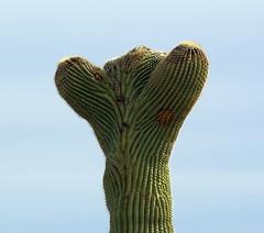 Saguaro (galiuros) Tags: sonorandesert crestedsaguaro greatnature