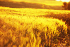 Fields of Gold (olivr) Tags: summer abstract film field analog germany deutschland gold golden coast nikon warm glow fuji dof bokeh sommer wheat warmth baltic depthoffield velvia feeling f80 nikkor n80 ostsee korn midges steilkste schleswigholstein mcken fieldsofgold weizen 80400 rvp50 grannen stohl dnischerwohld