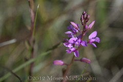 Polygala crenata - Liberty County, Florida, United States of America (Pecos Valley Diamond) Tags: flower florida native wildflower polygala milkwort polygalaceae floridanativewildflowers milkworts polygalacrenata scallopedmilkwort