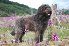 Dougal am measg Lus nam Ban-Sdh (Mrtainn) Tags: dog chien flower skye co cane scotland highlands isleofskye alba digitale hond escocia digitalis perro hund pies foxglove kutya labradoodle alban szkocja hundur suns pes esccia dougal schottland lus digitalispurpurea schotland ecosse anjing fingerbl scozia kopek skottland  vingerhoedskruid koira skotlanti skotland koer broskos naparstnica roterfingerhut dedalera uo cine esccia anteileansgitheanach skcia albain digitalepurpurea iskoya c   digitalepourpre kukupraka revebjlle nprstnk  gidhealtachd eileansgitheanach scoia beskennanitronvaria lusnambansth catallu digitalpurpria potntil gleannnabiste