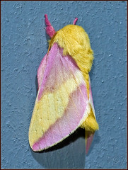 7715 - Rosy Maple Moth (Roy Brown Photography) Tags: georgia moth lepidoptera moths albany blueridge dougherty gilmer ellijay insecta saturniidae ceratocampinae bombycoidea giantsilkwormandroyalmoths royalmoths macrolife roybrown mothoftheday roybrownphotography 5november2011