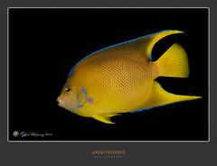 Yellow fish (ADHAM HAWRAMY) Tags: life fish water animals bay underwater alabama wide estuary scales bluefin creatures blueandyellow yellowfish dauphinislandsealab flickraward nikonflickraward estuaryfish