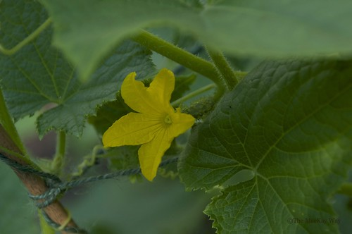 Cucumber flower with cucumber growing in behind.