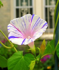 Painted Morning Glory (Kurlylox1) Tags: pink white flower window purple painted grille morningglory striped tendrils