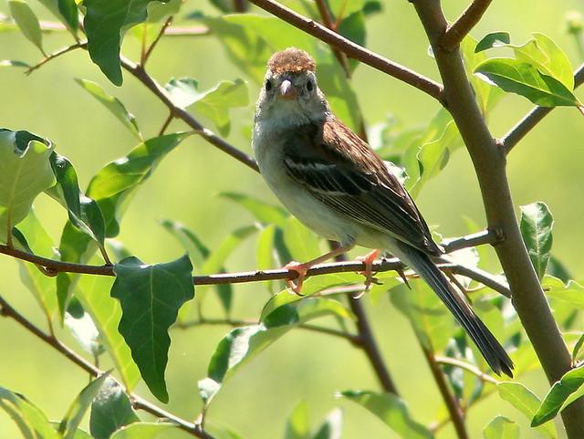 Field Sparrow 20110704