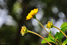 Love story of three! (e.nhan) Tags: flowers light green art nature leaves yellow closeup daisies colorful colours shadows dof bokeh daisy backlighting enhan