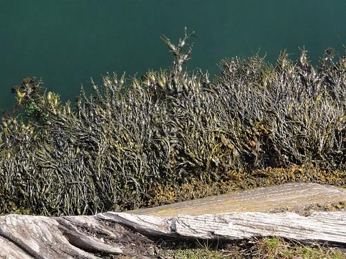 Carnlough Harbour Seaweed